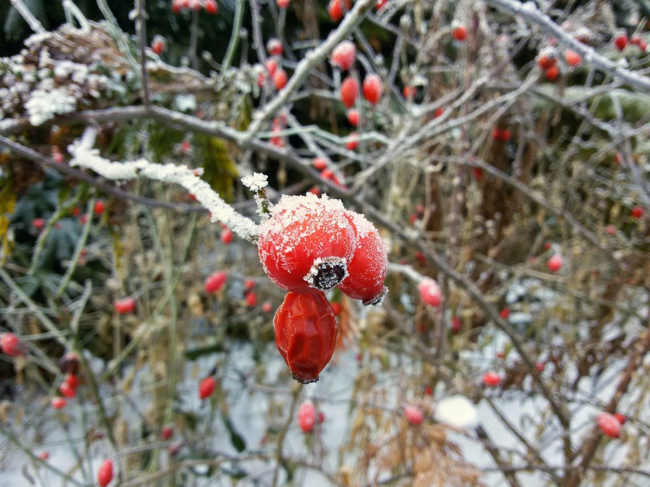Rose Hips in Winter Rose Hips Fruits Wild Berries Nature Hoarfrost Hoar Frost Winter Iced Cold Red Snow Plants Closeup
