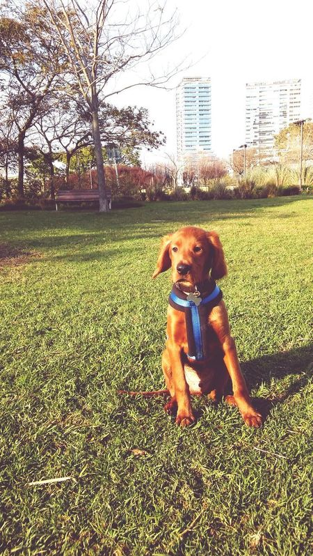 Dog Grass One Animal Green Color Portrait Outdoors Puppy Love Puppy Irishsetter Irishsettersofinstagram Setter Irishsetterpuppy Setter Irlandes DASTAN Irish Setter Friendship Buenos Aires, Argentina  Puerto Madero, Argentina Grass Green Color Love Pets Domestic Animals Family Day