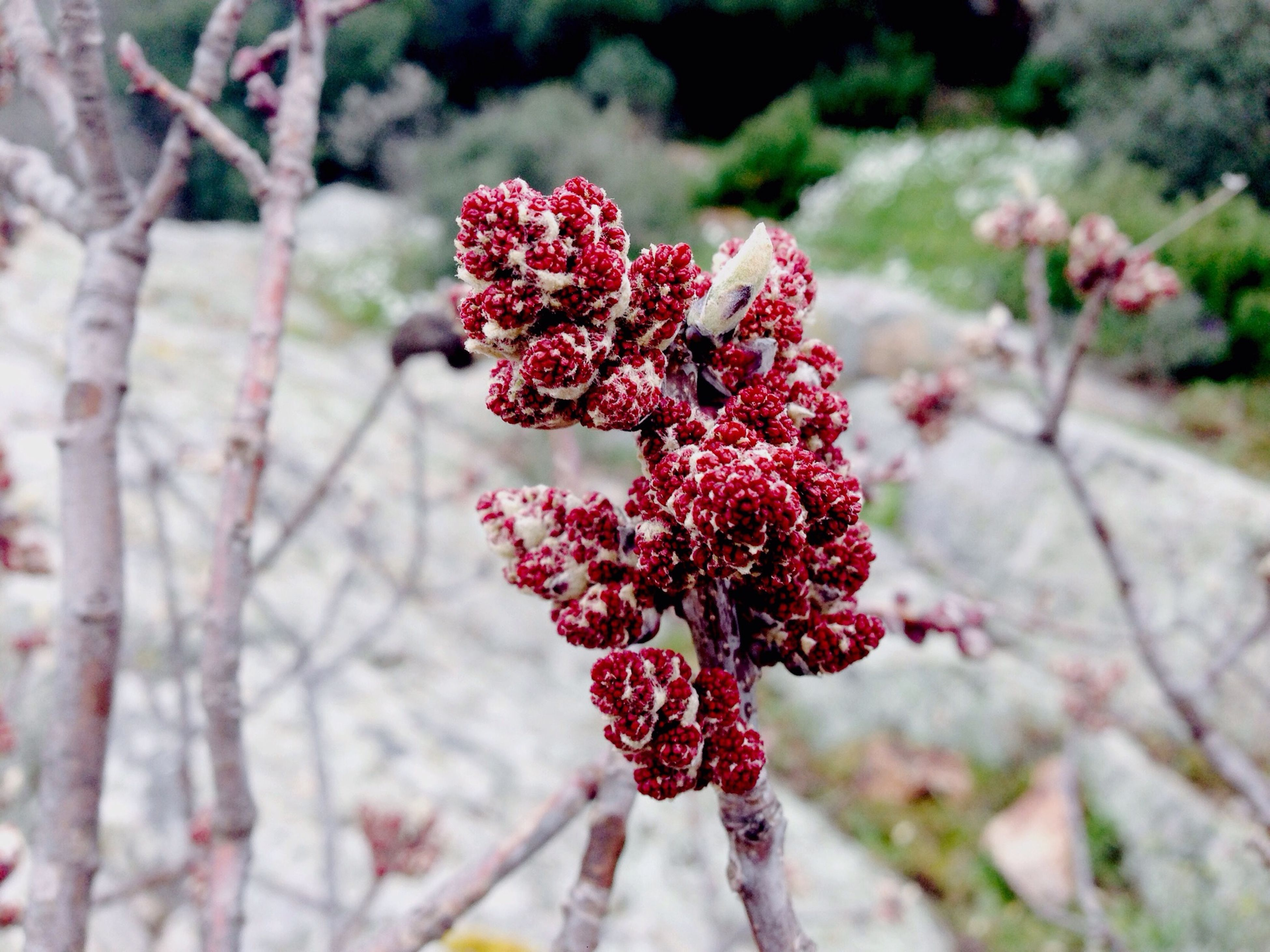 red, flower, focus on foreground, close-up, fragility, growth, freshness, nature, beauty in nature, petal, plant, branch, selective focus, day, season, tree, outdoors, no people, blooming, flower head