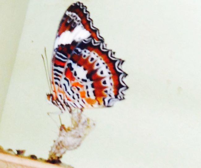 Butterfly Butterflycocoons Cocoon Beautiful Pattern Baby Catapiller Amazing Leaves Life Nature Breeding