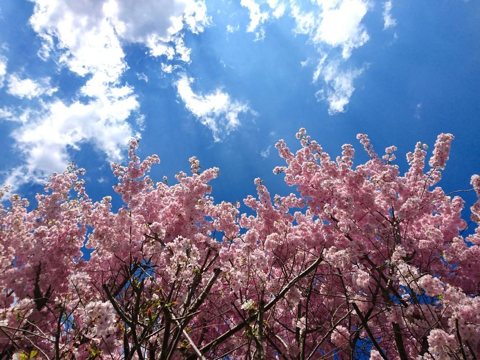Blue No People Low Angle View Nature Beauty In Nature Sky Freshness Outdoors Day Flourishing Pink Blossom Blossom Flowerd Flowering Pink Color Pink Flowers Three Clouds Clouds And Sky Blue Sky Growth Growth In Bloom In Bloom EyeEm Diversity