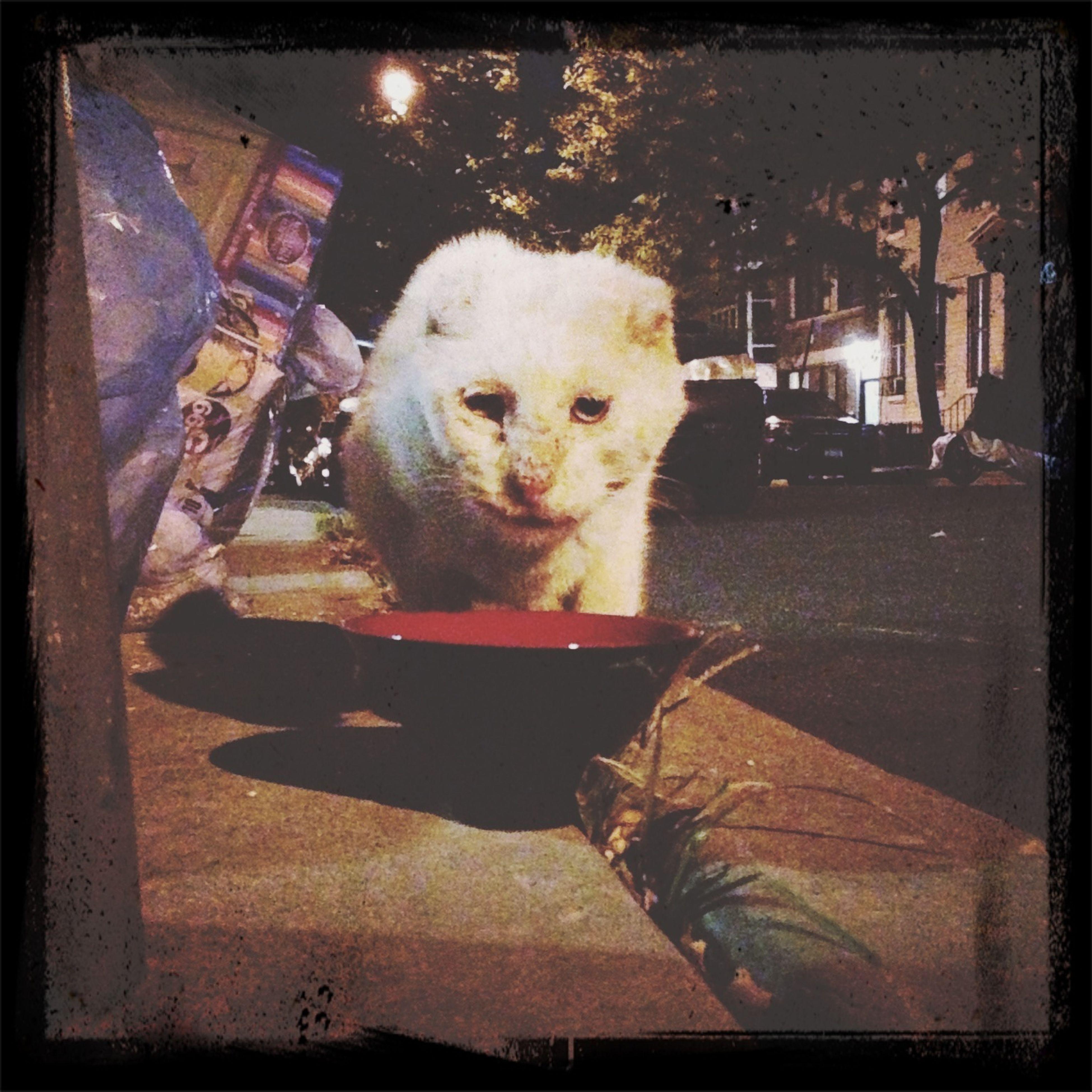 abominable snowcat Cats Street Cat Bushwick