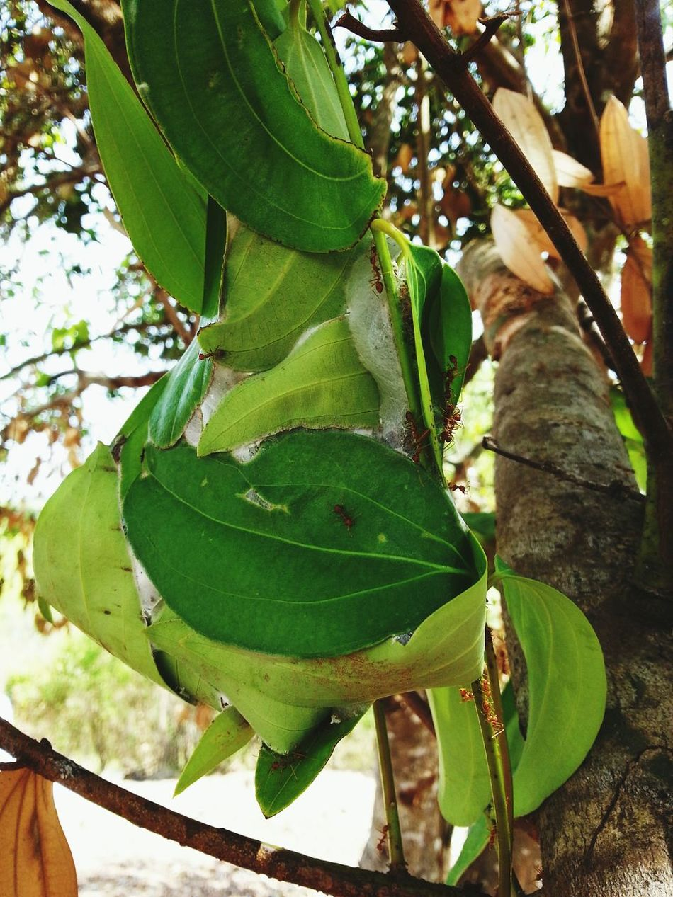 Ant's nest Ant Nest Nature_collection Leaf Become House Living Source Important Source Of Life Their Part Of Architecture Building Green Leaves