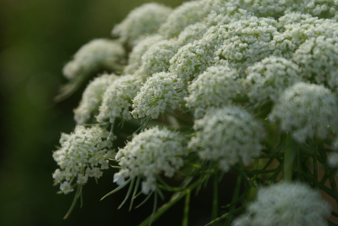 Close-Up Of Queen Annes Laces Blooming In Park