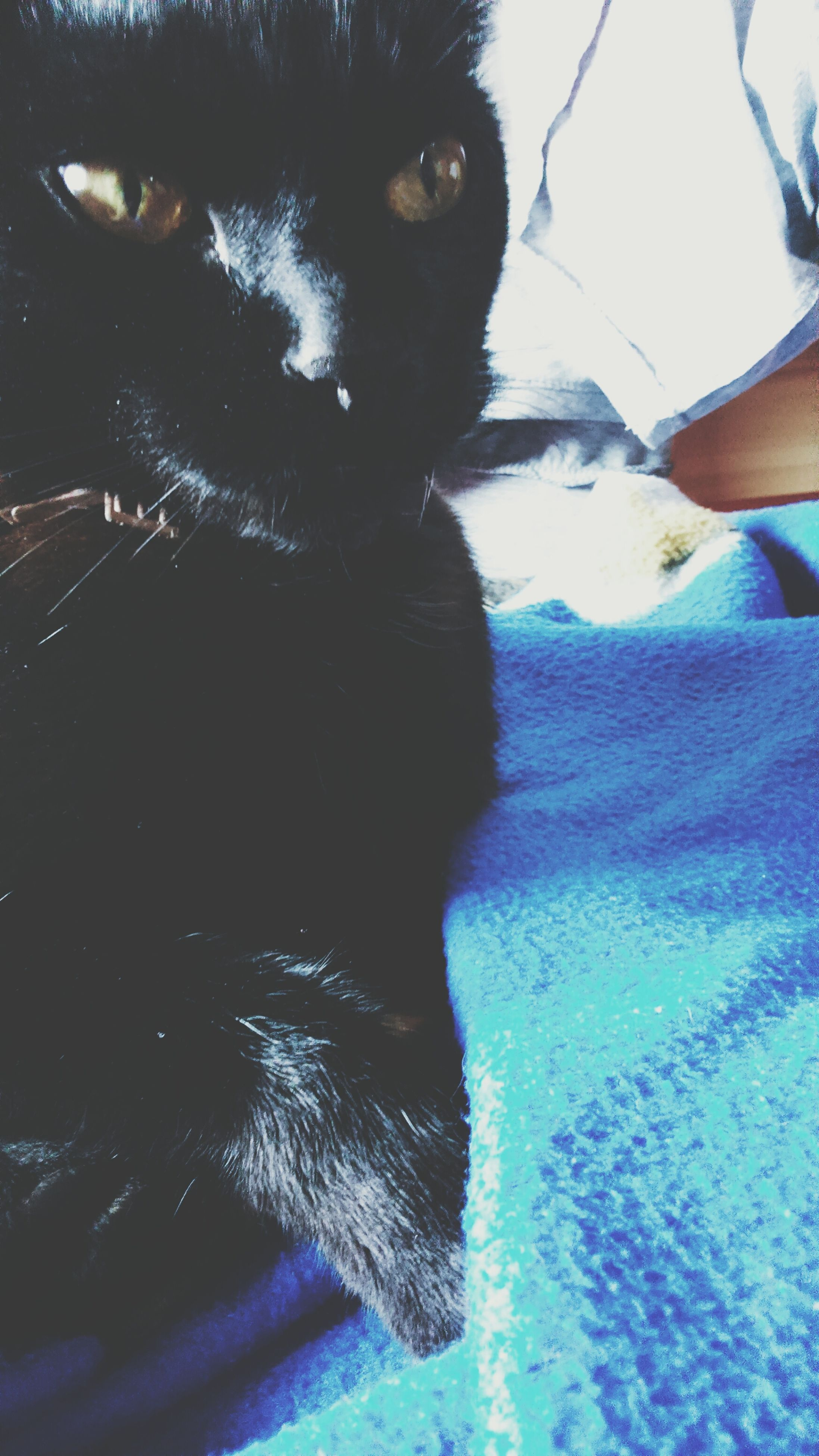 domestic animals, pets, one animal, animal themes, mammal, dog, animal head, black color, looking at camera, portrait, close-up, animal body part, indoors, domestic cat, relaxation, high angle view, cat, no people, lying down, whisker