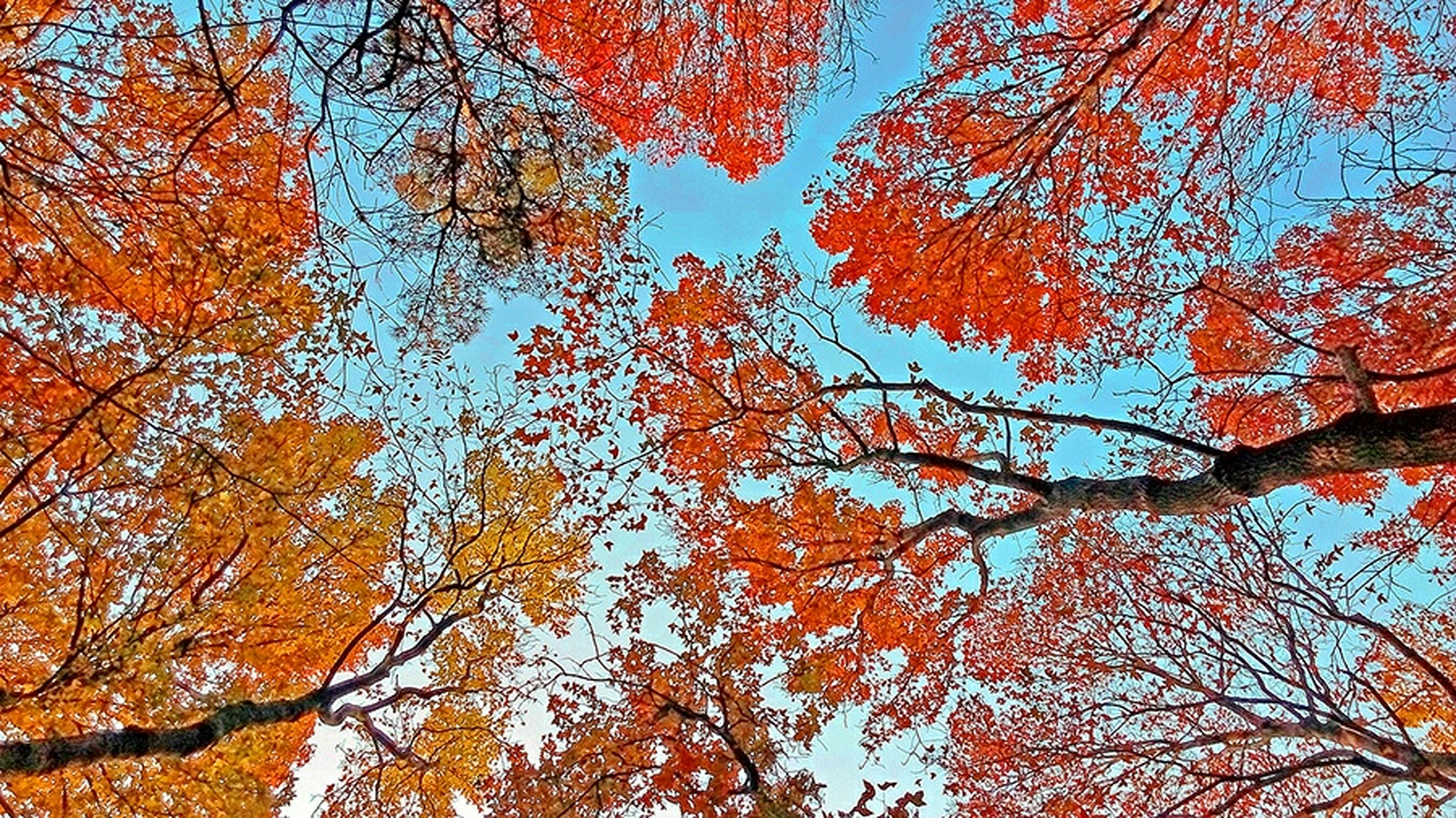 tree, autumn, change, branch, low angle view, season, orange color, nature, growth, beauty in nature, tranquility, scenics, day, yellow, tree trunk, sky, blue, no people, outdoors, backgrounds