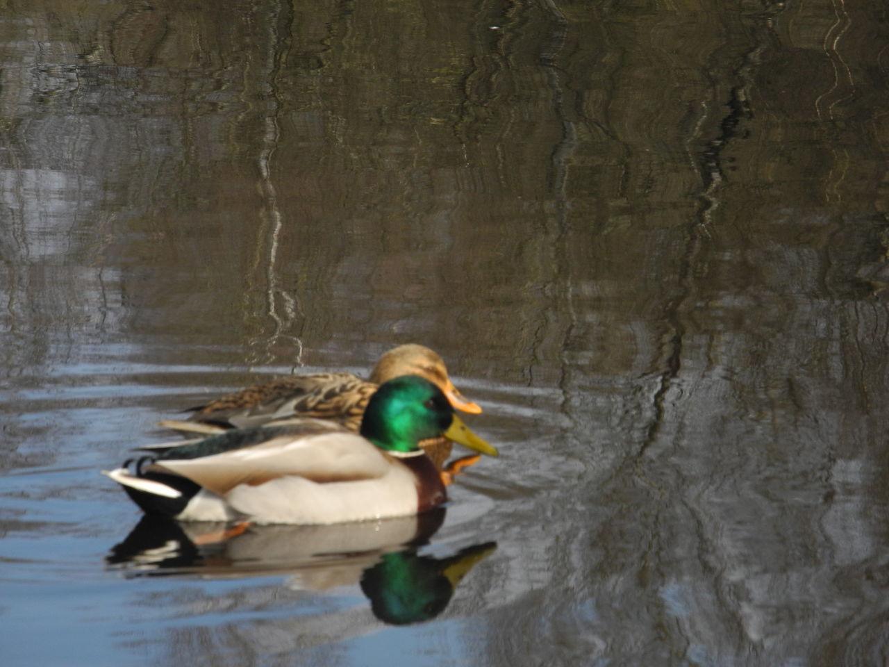 Arche de la nature Animal Themes Animals In The Wild Bird Duck Lake Mallard Duck Nature Water