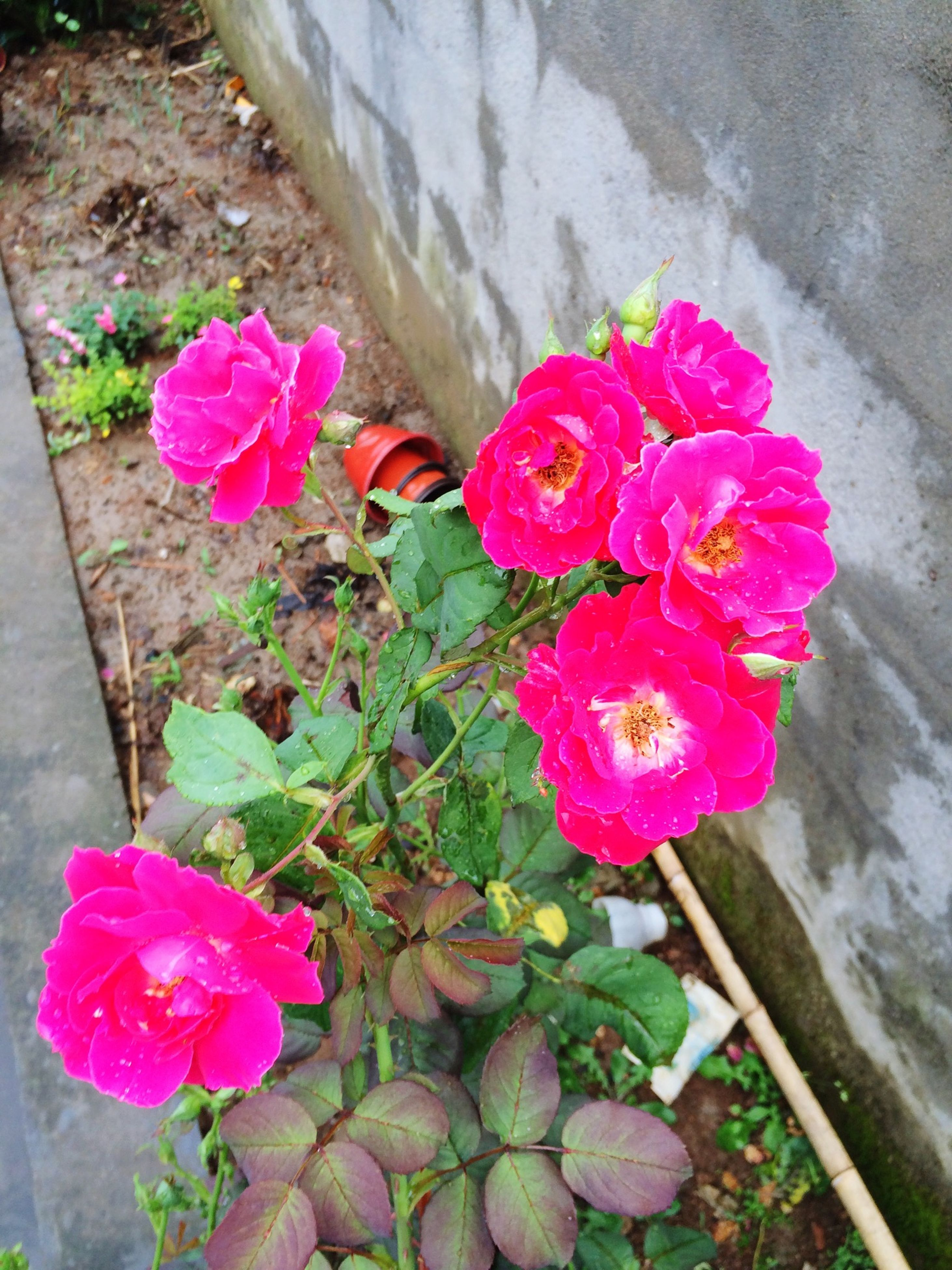 flower, petal, pink color, freshness, fragility, flower head, beauty in nature, rose - flower, blooming, growth, nature, plant, close-up, wall - building feature, pink, leaf, in bloom, high angle view, day, outdoors