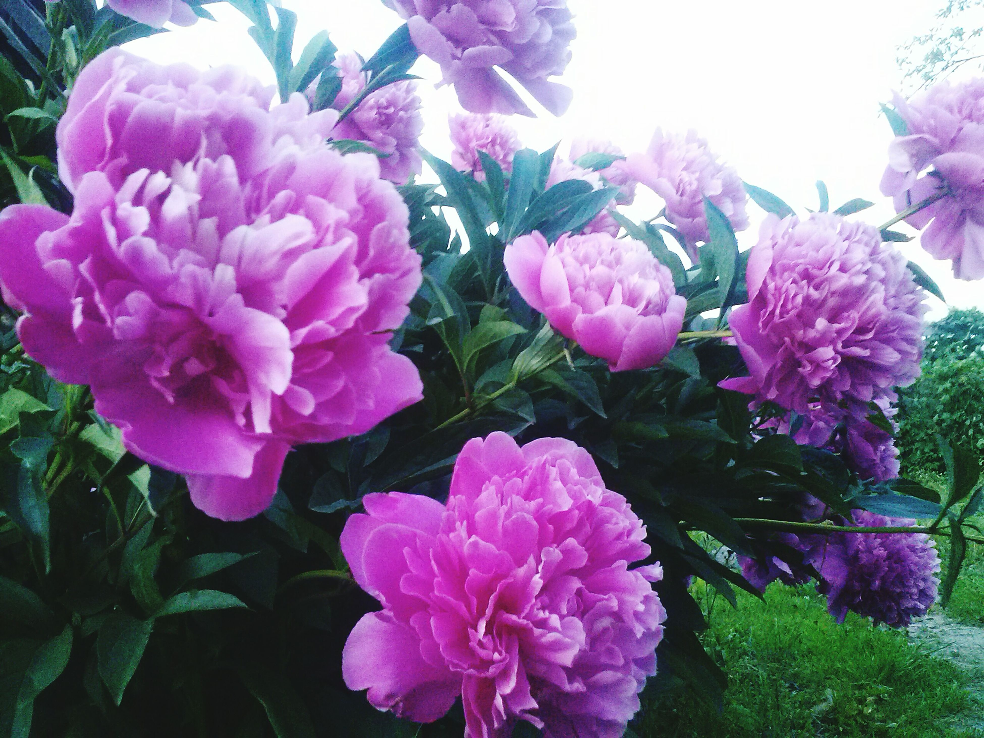 flower, freshness, fragility, petal, beauty in nature, growth, flower head, pink color, blooming, nature, plant, close-up, purple, in bloom, leaf, park - man made space, bunch of flowers, blossom, hydrangea, high angle view