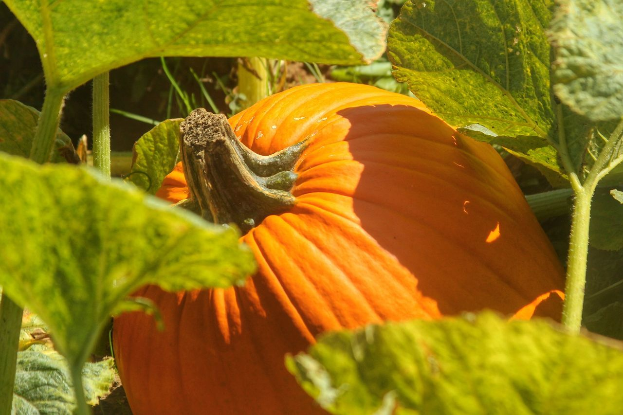 Beautiful stock photos of pumpkin, Beauty In Nature, Day, Field, Food