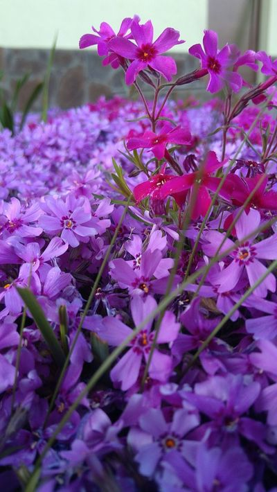Flower Nature Beauty In Nature No People Growth Flower Head Outdoors Day Plant Beauty In Nature Plant Nature Spring Flower Spring Purple Flower Pink Flower Phlox Phlox Flowers Makro Flower Makro Photo Spring Flowers Makro_collection Makro Photography Makro Taking Photos