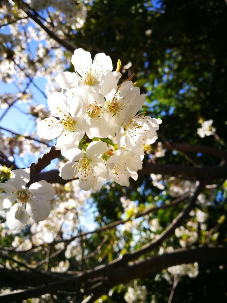 Flower Flower Blossom Springtime Tree Branch White Color Fragility Nature Beauty In Nature Petal Botany No People Outdoors Low Angle View Day Corse Picture Of The Day Eye Em Nature Lover Eye