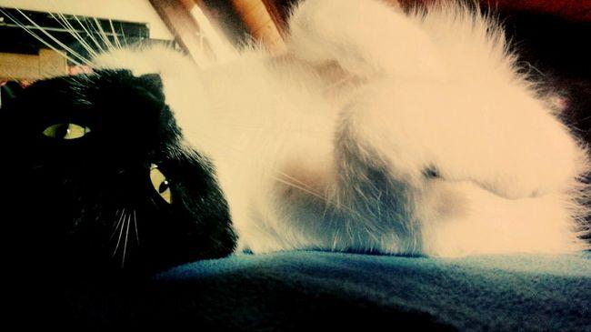 Cats Cat♡ Cat Lovers Cat Animals Animal Photography Cuteness Cute Pets Cat Cute Pets Cute Cats Adult Lying Down Indoors  EyeEm Best Shots Germany Photos Official EyeEm © Eye4photography  EyeEm Nature Lover Likeback Ilikephotography Like4like Movement Photography No People I Love My Cat I LIKE👍EyeEm😃👍