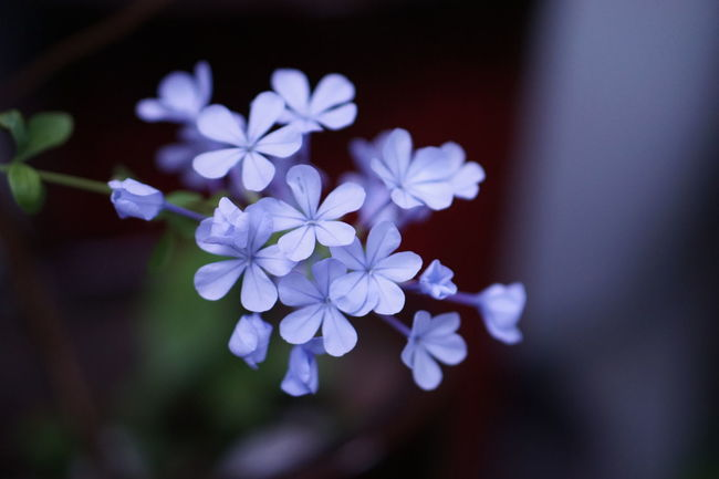 EyeEm Nature Lovers Beauty In Nature Natural Colors Freshness Flower Photography Bunch Of Flowers Blooming Beautiful Nature Plumbago Sky Flower