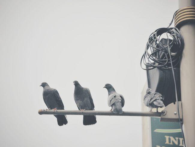 Pigeons Birds Street Up Close Street Photography Old Style Travel Sky Landing Bird Photography Pigeon Bird  Pigeons Everywhere Pigeons On The Top The Street Photographer - 2016 EyeEm Awards