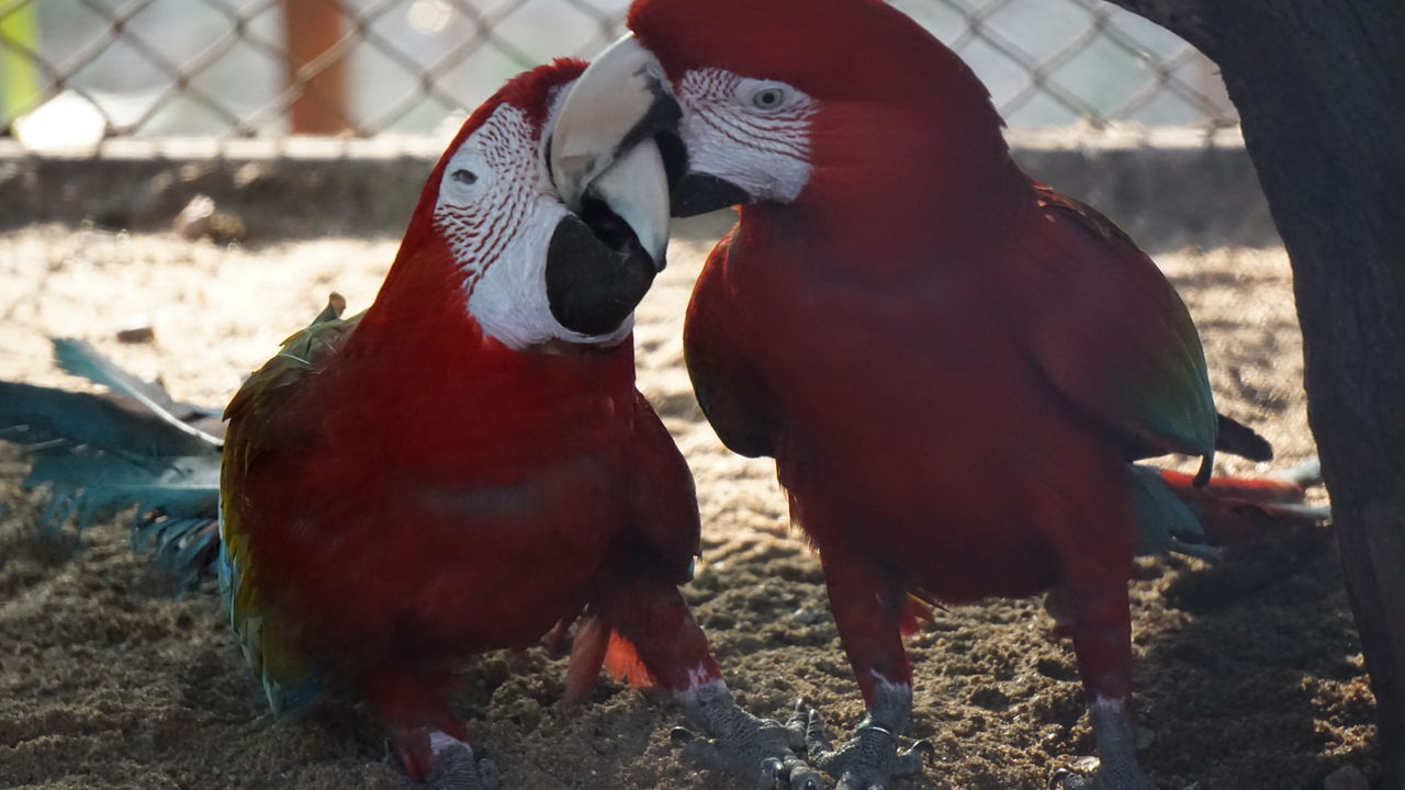 Is it Romantic fight or just a fight? Animal Themes Bird Outdoors Grass Focus On Foreground Togetherness Day Nature Macaw Parrot Macaw Bird. Macaw Red Nwin Photography SonyAlpha6000 National Park Sonyalpha