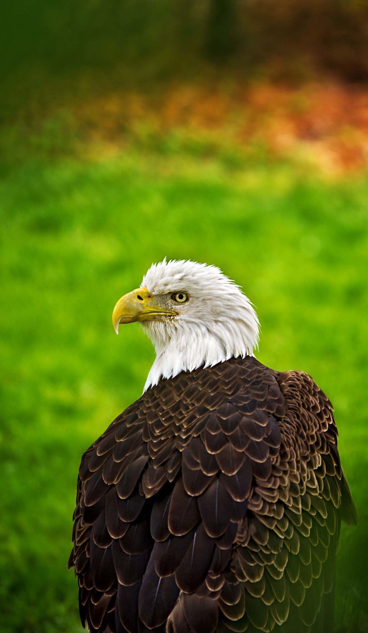 Beautiful stock photos of bald eagle, Animal Head, Animal Themes, Animals In The Wild, Beak