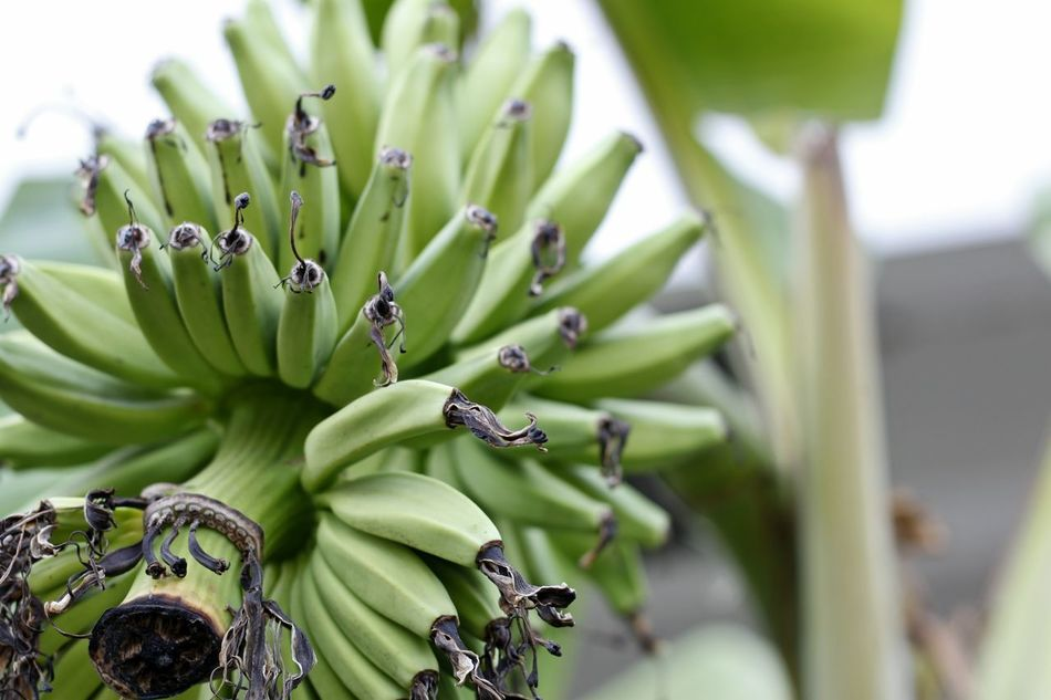 Banana Banana Tree Beauty In Nature Close-up Day Food Freshness Fruit Green Banana  Green Bananas Green Color Green Color Growth Nature No People Outdoors