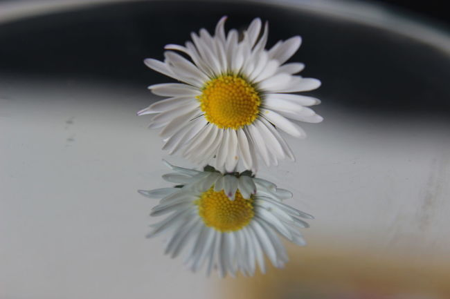 Simple Daisy. #daintyflower #Dark #mirrorimage #Nature  #petals #reflection #yellowandwhite Beauty In Nature Blooming Flower Head Focus On Foreground No People Outdoors Petal Plant