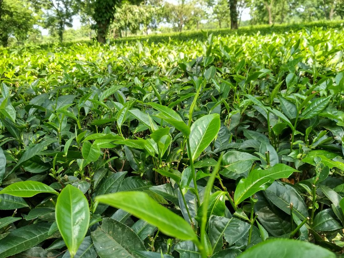 Tea Garden Green Color Growth Nature Leaf Plant Day Field Outdoors Freshness No People Beauty In Nature Grass Close-up