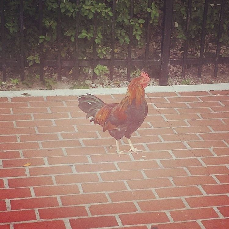 Chickens Keywest Florida