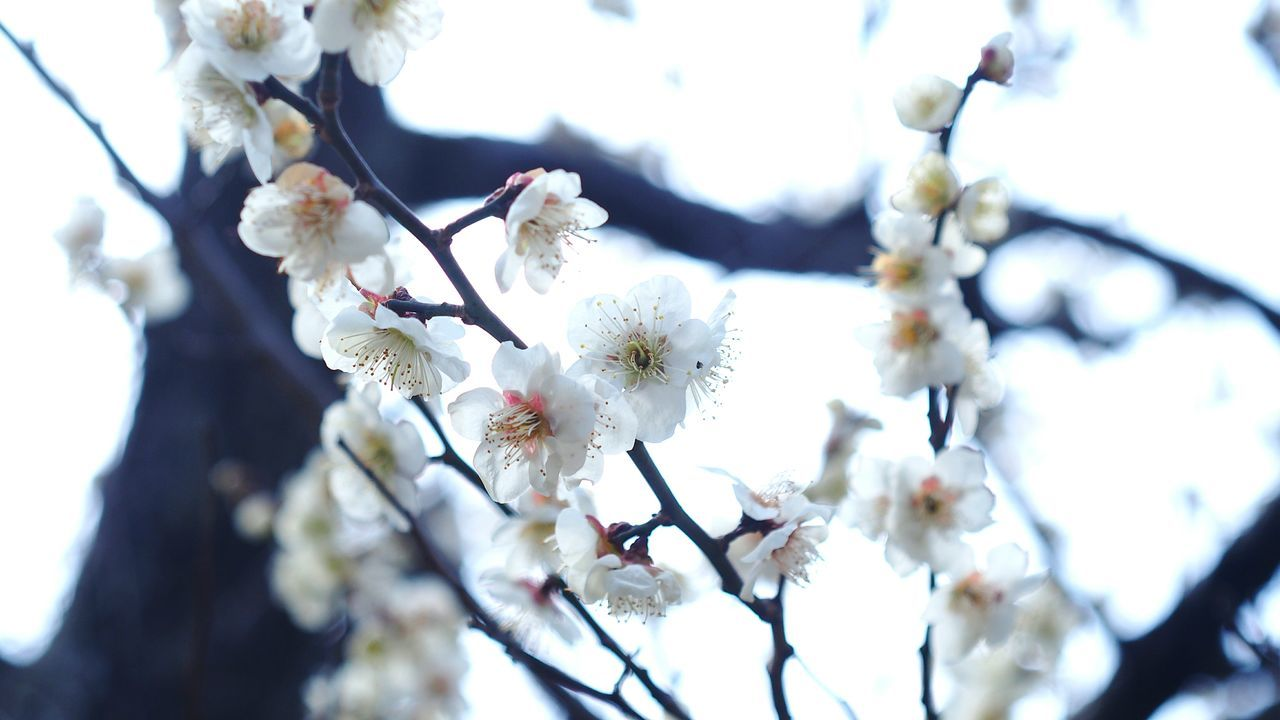 flower, tree, fragility, blossom, white color, beauty in nature, apple blossom, cherry blossom, springtime, branch, nature, apple tree, growth, orchard, cherry tree, botany, freshness, twig, almond tree, day, plum blossom, petal, no people, stamen, close-up, low angle view, outdoors, flower head, spring, blooming, sky