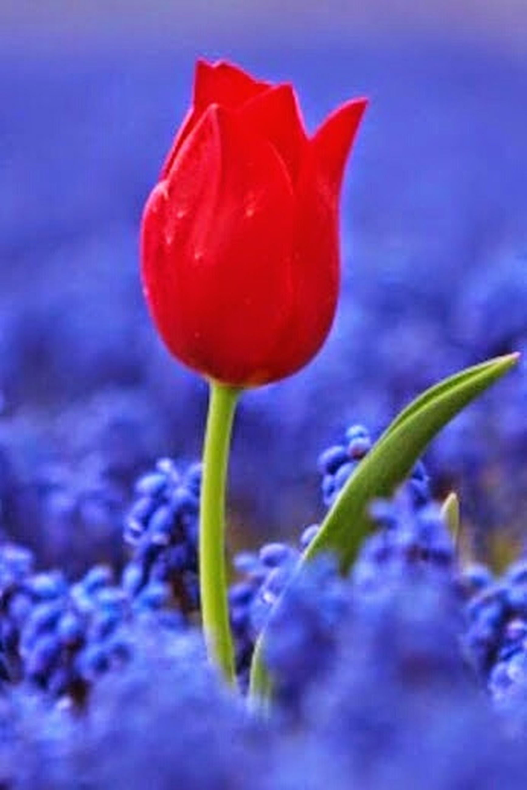 flower, freshness, fragility, petal, growth, close-up, beauty in nature, stem, flower head, plant, nature, focus on foreground, bud, red, tulip, poppy, selective focus, blue, blooming, purple