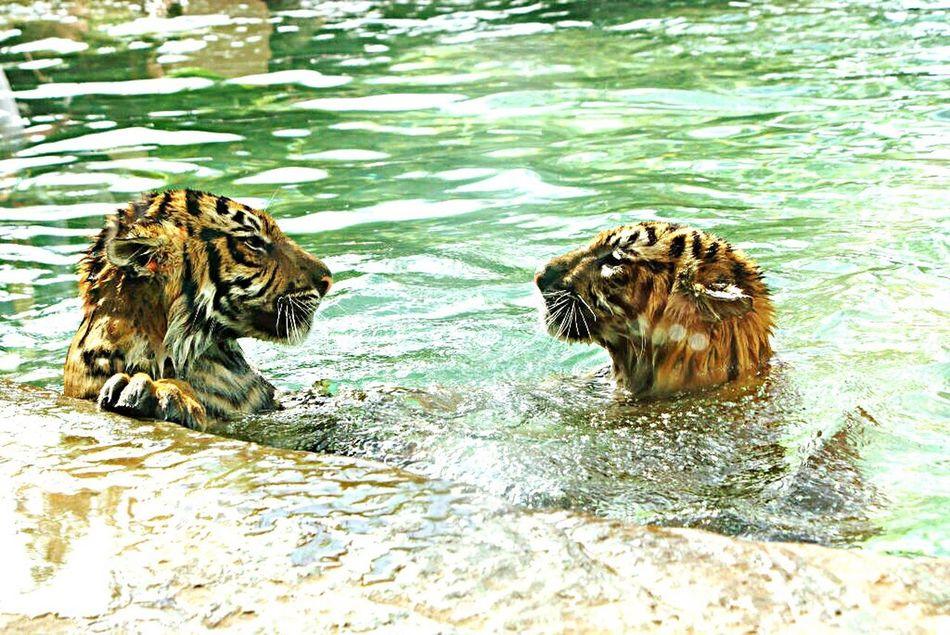 ミーノー!! Tigers Tigers Swimming Wet Tigers Tigers In A Swimming Pool Tigers❤ Tigers Lovers Tigers In Captivity Tigers Are So Amazing Tigers Australia Zoo