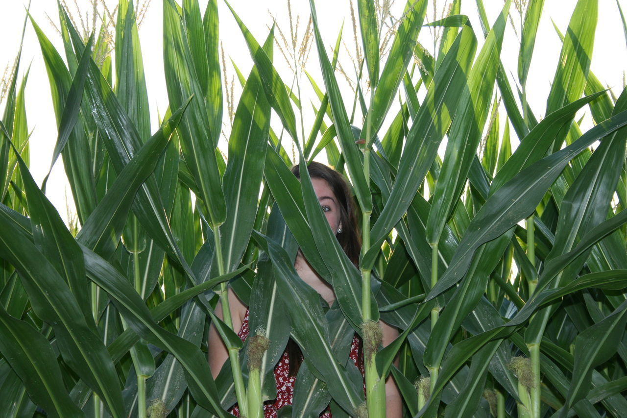 Peeking Through Agriculture Cereal Plant Close-up Corn Corn Field Day Field Grass Green Color Growth Hiding Leaf Nature One Person Outdoors Peeking People Plant Portrait Real People Women Young Adult Young Women