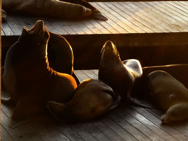 ...sitting on the dock of the bay.... Barking Seals Cindy Greenstein Photography Eye Em Best Shots Harbor Seals Playing Search&destroy #bo2 San Francisco San Francisco Bay San Fransisco Mornings San Fransisco Seal Seals On The Dock The Week On EyeEm