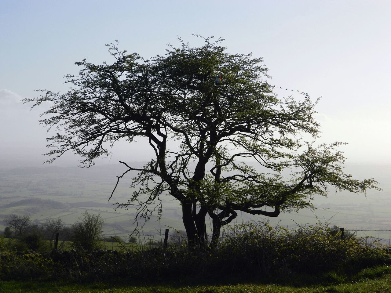 Quirky tree. Tree Nature Outdoors No People Tranquility Landscape Sky Day Beauty In Nature Fog Grass Growth Plant Priddy Somerset Rural Highup Beautiful Beautiful View Beaytiful Landscape Trees And Sky Tree Art Tree Branches Trees And Nature Treelovers
