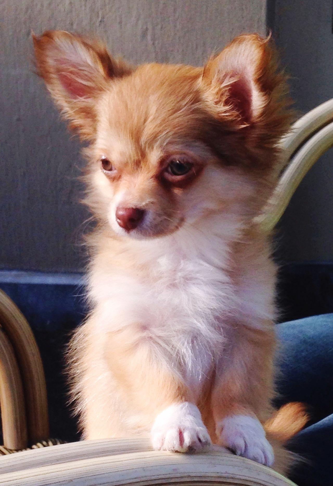 Gorki .... Pets Corner Dogs Doglover Puppies Pets Pups Puppy Love Animals Puppy❤ Puppyeyes Dogslife Hi! Chiuahua Puppy Chiuaua PuppyLove Puppy Love ❤ Puppy Face Puppy Eyes