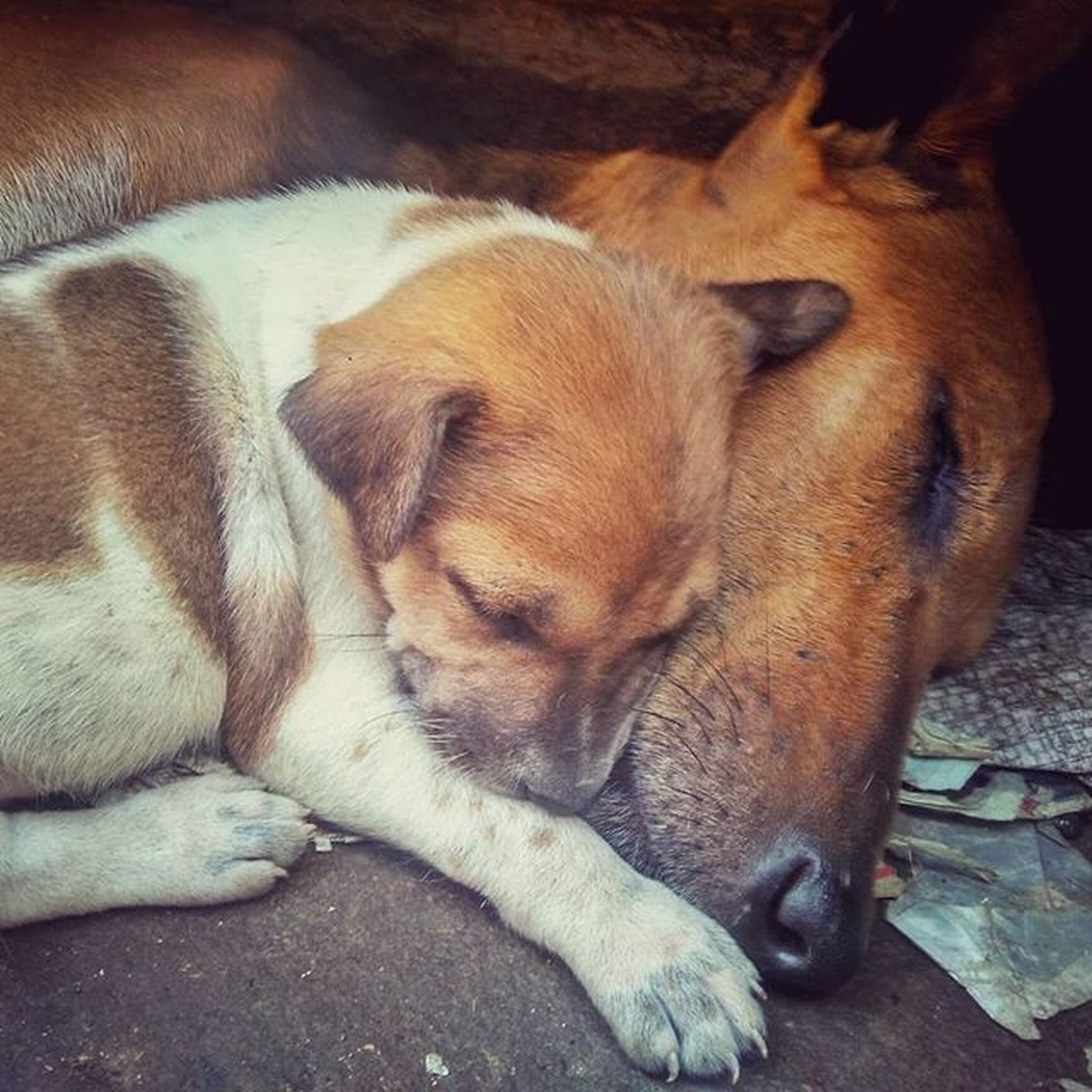 The best pillow in the world... Redmi2Prime Redmi Redmiclicks Puppiesofinstagram Dogsofinstagram PuppyLove _soi Ig_calcutta India Kolkata Incredibleindia Indiapictures Indiaclicks Storiesofindia Lonelyplanetindia Streetsofkolkata Streetphotography Streetsofindia Instagrammers Dailylifeindia Indiadaily Snapseededit Snapseed Desi_diaries Doglovers