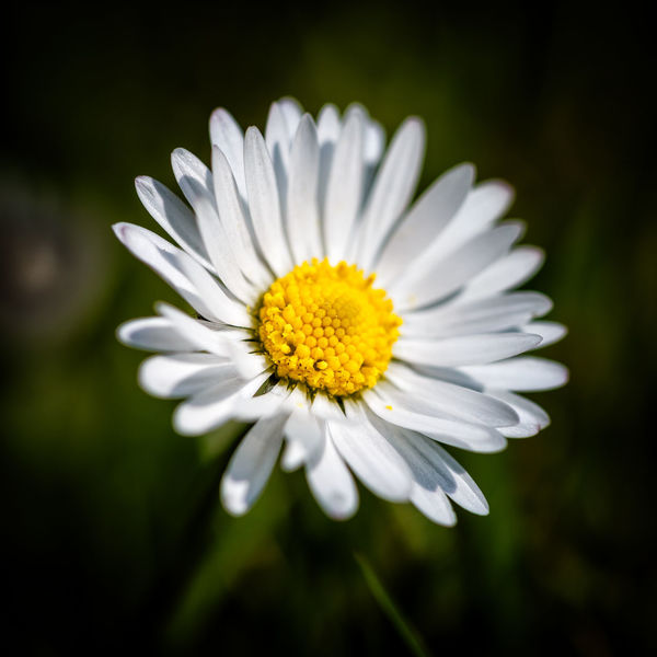 Daisy Flower Macro Macro_flower
