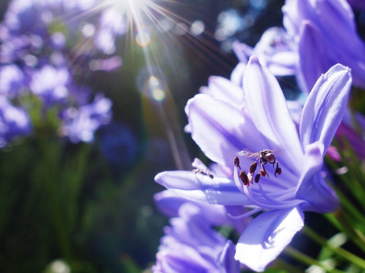 Flower Bee Nature Native Bee Flight Insect Pollen Stamen Garden Agapanthus Flowers Purple Beauty In Nature Growth Plant Spring Summer Flower Head Symbiotic Relationship