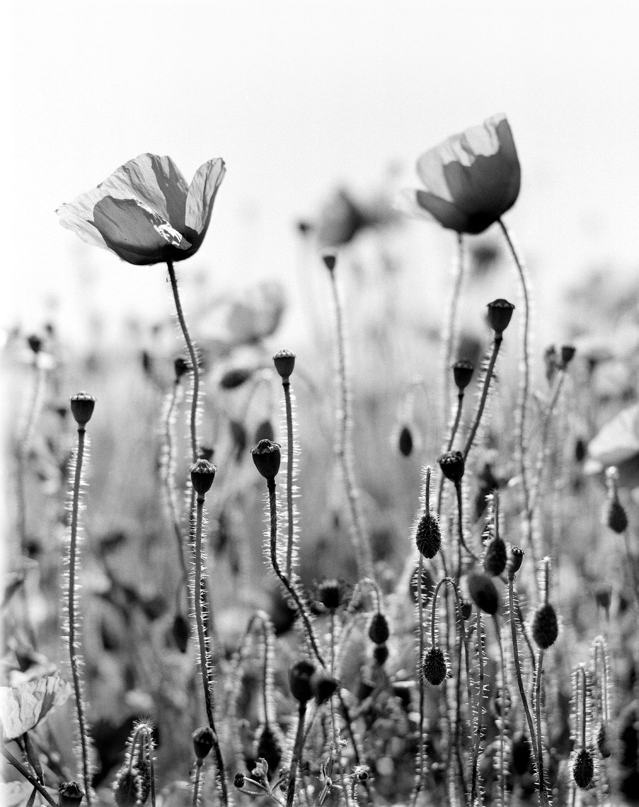 poppies Beauty In Nature Close-up Day Field Fieldscape Flower Flower Head Fragility Freshness Growth Nature No People Outdoors Plant Poppies  Poppy Poppy Flowers Seaford Sky Summer Toned Black And White
