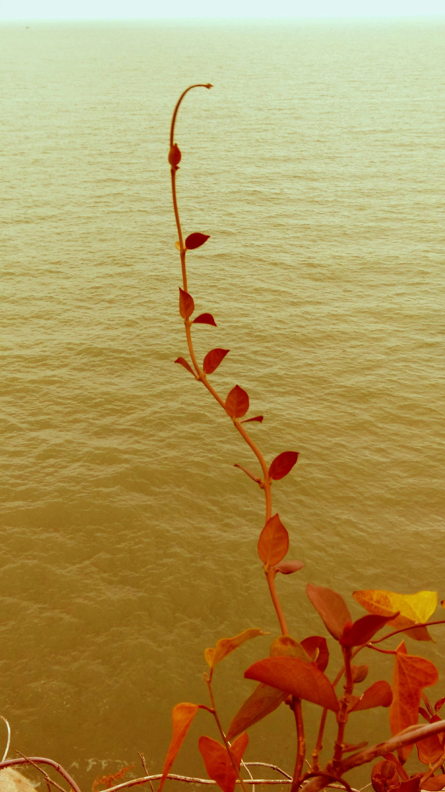 water, nature, beauty in nature, plant, red, growth, sea, tranquility, flower, close-up, no people, day, stem, high angle view, outdoors, leaf, rippled, horizon over water, orange color, tranquil scene