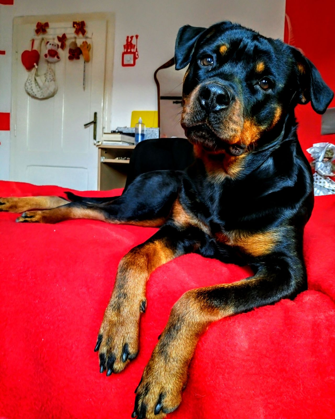 Pets Dog One Animal Animal Themes Domestic Animals Relaxation Mammal Bed Indoors  Front View Bedroom No People Close-up Day Animal Portrait Rottweiler Focus On Foreground