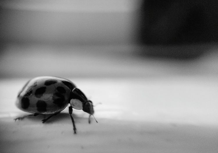 Nature On My Doorstep Ladybird Black And White Photography Nature_collection Blackandwhite Photography Ladybugs Ladybeetle Lady In Red Harlaquin