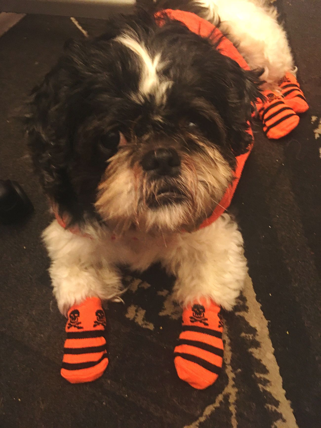 My little Pumpkin benjy Pets Dog Domestic Animals Mammal One Animal Animal Themes Looking At Camera Portrait Red Puppy Indoors  No People Pet Clothing Dogs Photography Shih Tzu Day Focus Object Fall Baby Halloween