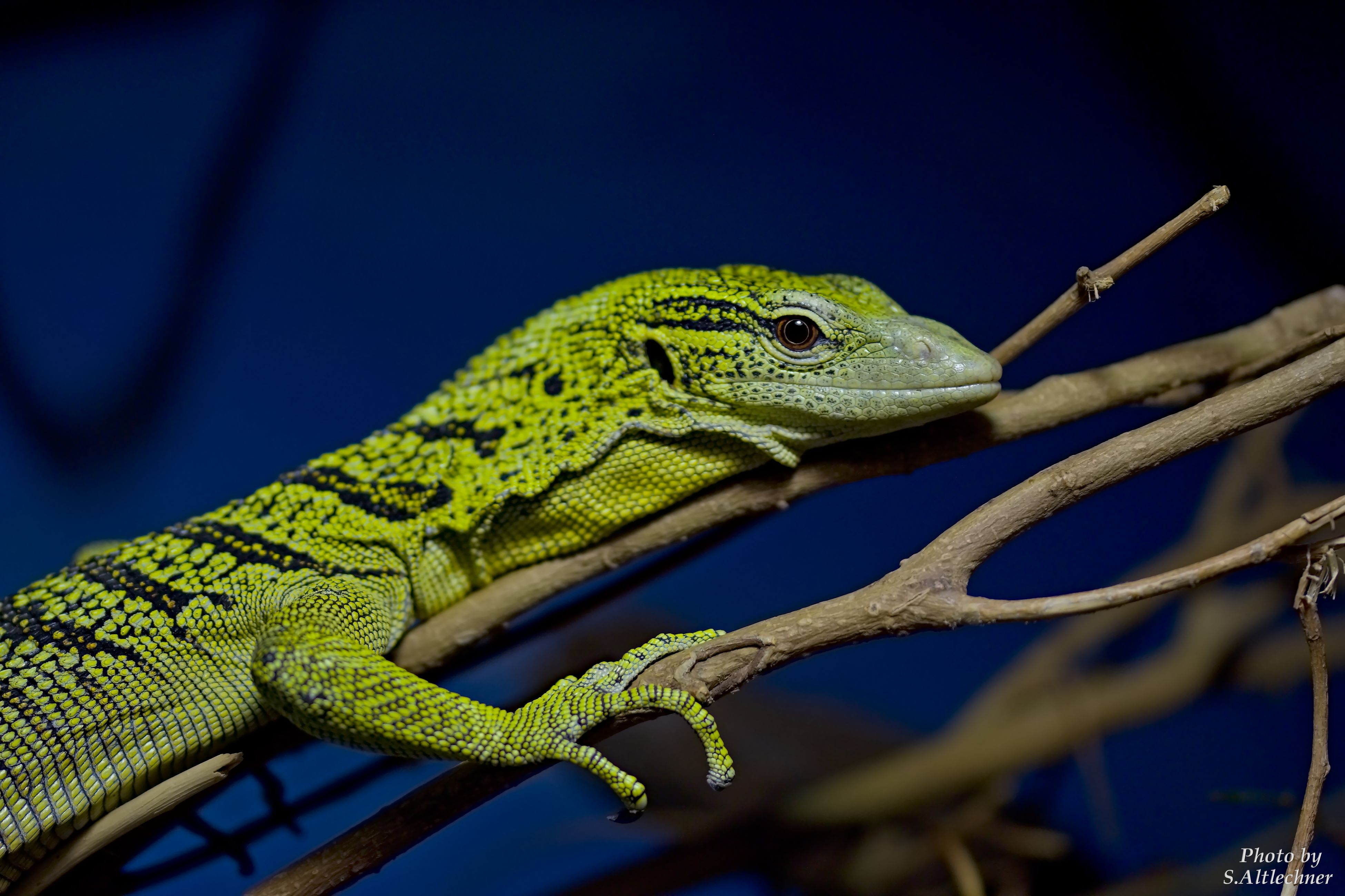 animal themes, one animal, animals in the wild, wildlife, reptile, lizard, close-up, selective focus, animal head, green color, branch, zoology, resting, nature, day, no people, focus on foreground, green