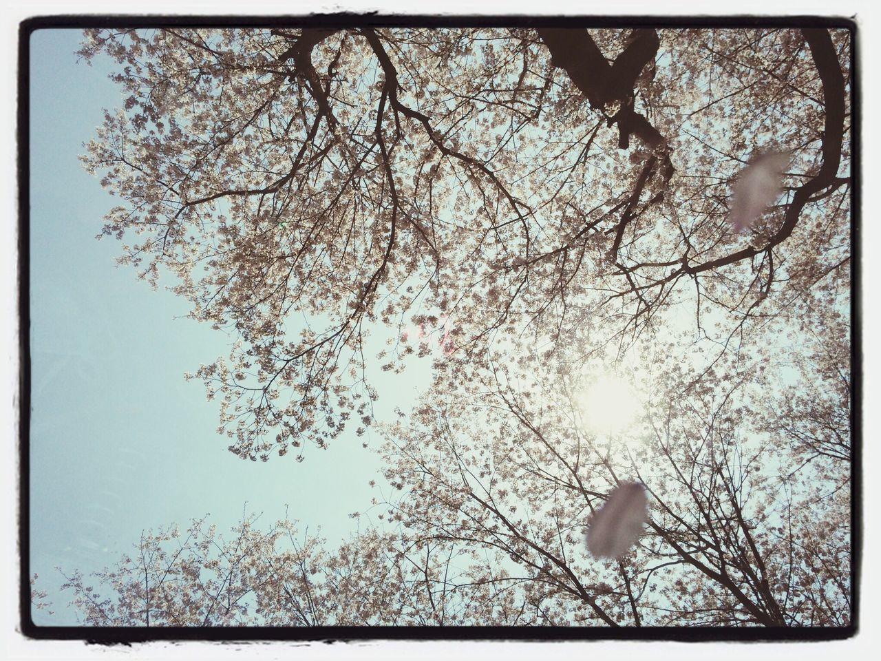 Fall...... To cover my eyes. Korea Jinju 연암도서관 Cherry Blossoms trees.