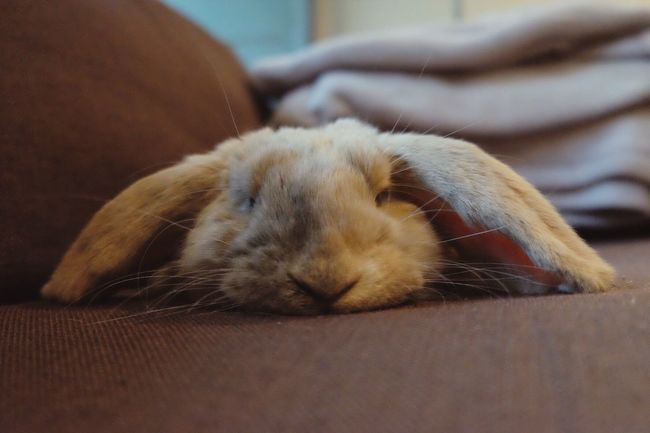 Lovely French Lop French Lop Rabbit