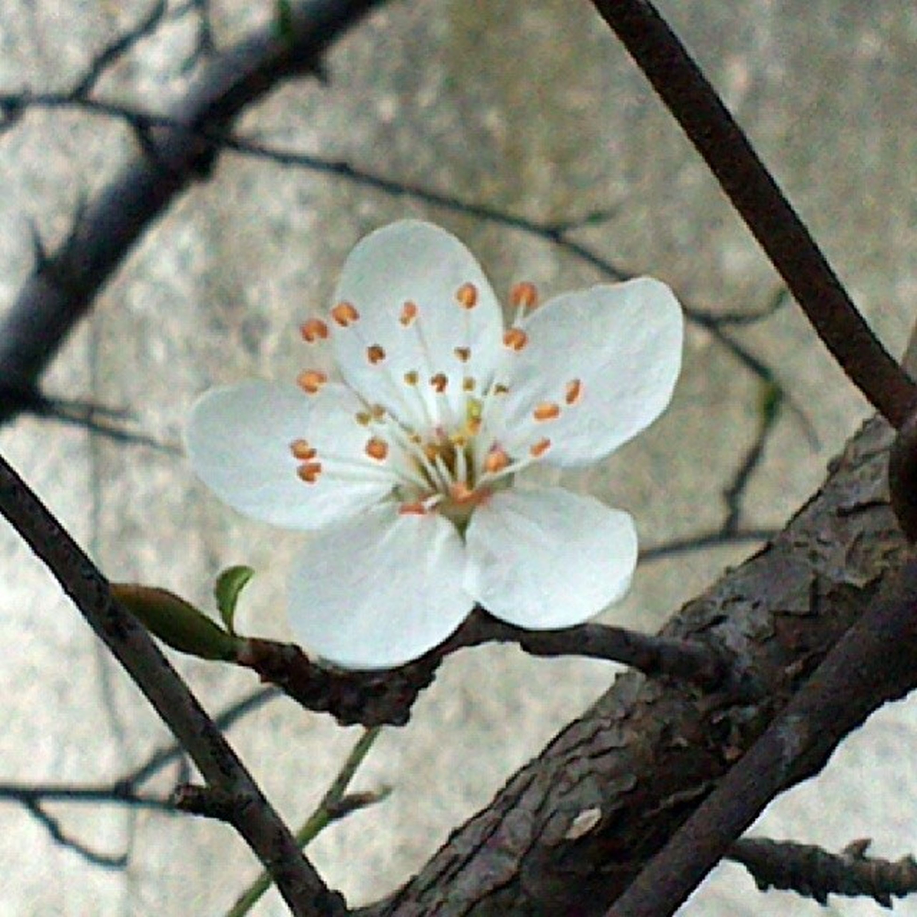 flower, growth, freshness, fragility, branch, petal, nature, beauty in nature, focus on foreground, close-up, flower head, white color, tree, blossom, blooming, in bloom, day, outdoors, botany, no people