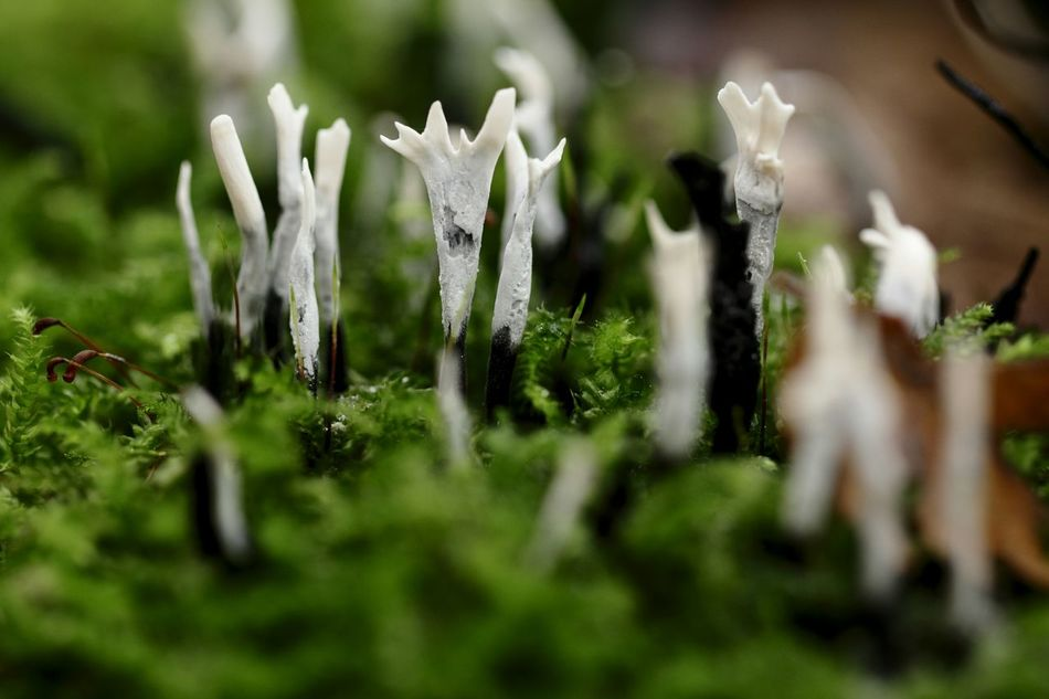 People on a stump? Xylaria Mushrooms Tree Stump Forest Nature's Diversities