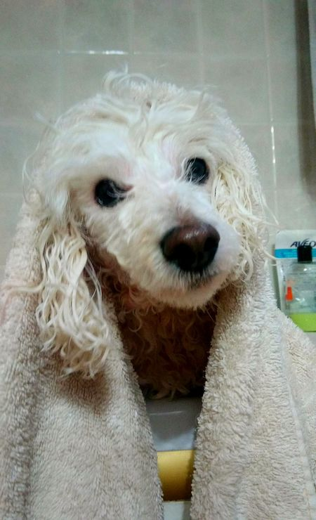 Bath Time for my Poodle🐩 camilla Love ♥ Poodle Love Fluffy Whitepoodle
