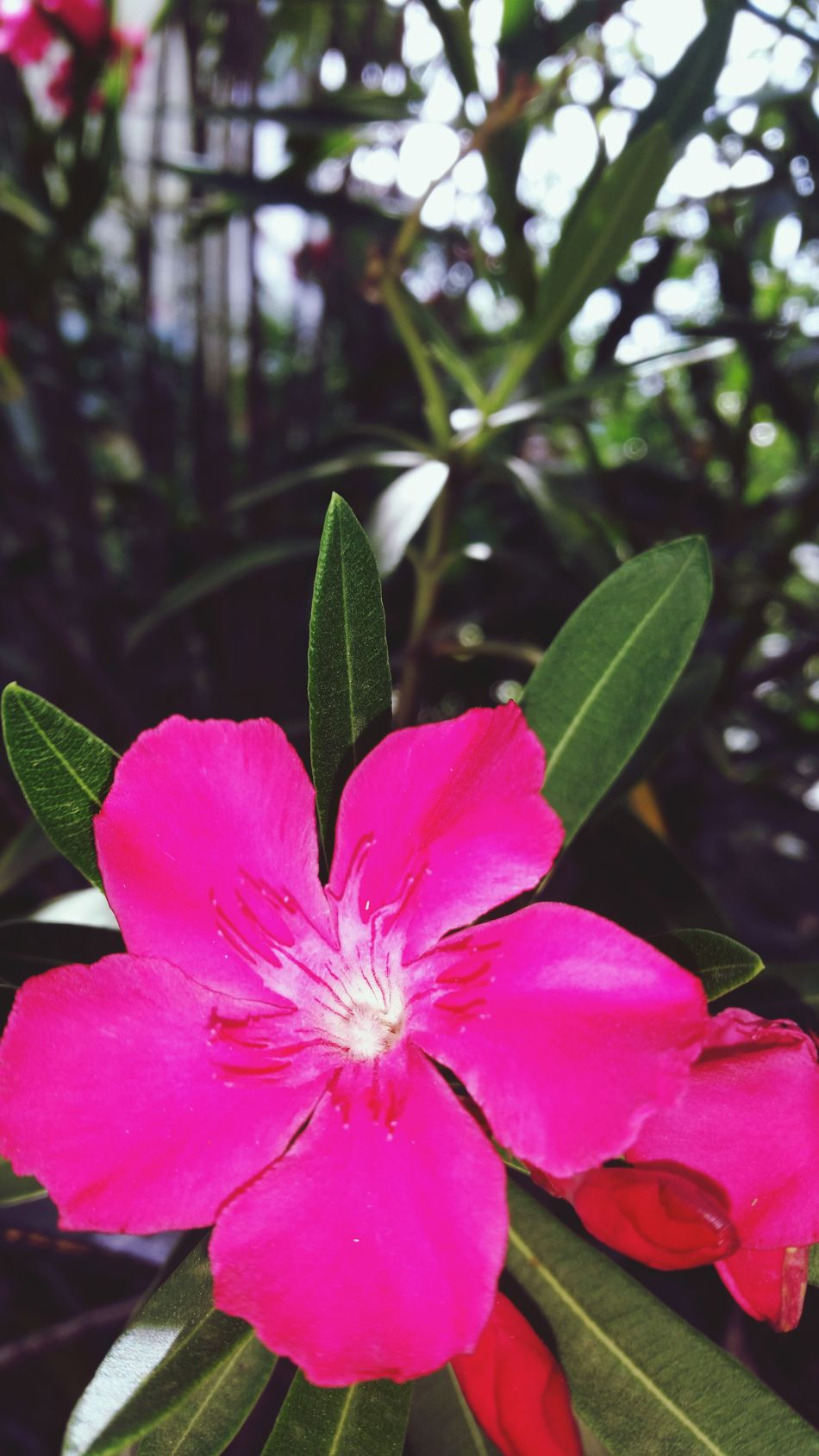Flower Petal Freshness Growth Fragility Pink Color Flower Head Beauty In Nature Close-up Focus On Foreground Nature Plant Pink Stamen In Bloom Single Flower Vibrant Color Blooming Springtime Blossom Pink Flower