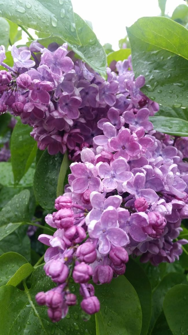 Lilacs Taking Photos Hello World Check This Out Relaxing Enjoying Life Free Eye4photography  Spring 2016 EyeEm Gallery The Great Outdoors -2016 Eyeem Awards Thegreatoutdoors-2016eyeemawards The Great Outdoors - 2016 EyeEm Awards Beauty In Nature Flower Close-up Sweden Tranquil Scene Freedom Beautiful Freshness Atmosphere Outdoors In Bloom Pictureoftheday Photooftheday