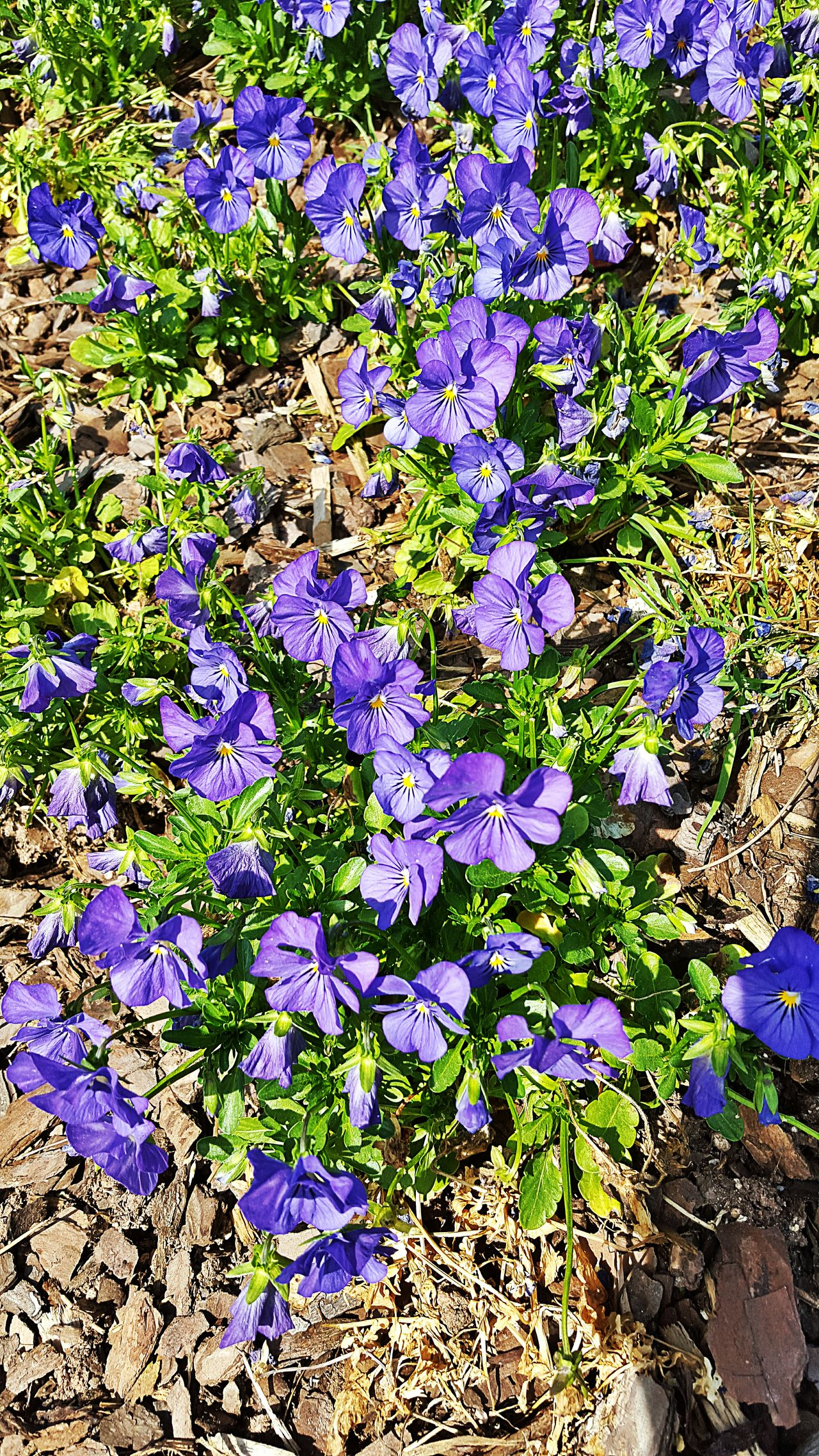 Deep Purple Sunny Afternoon Flower Power