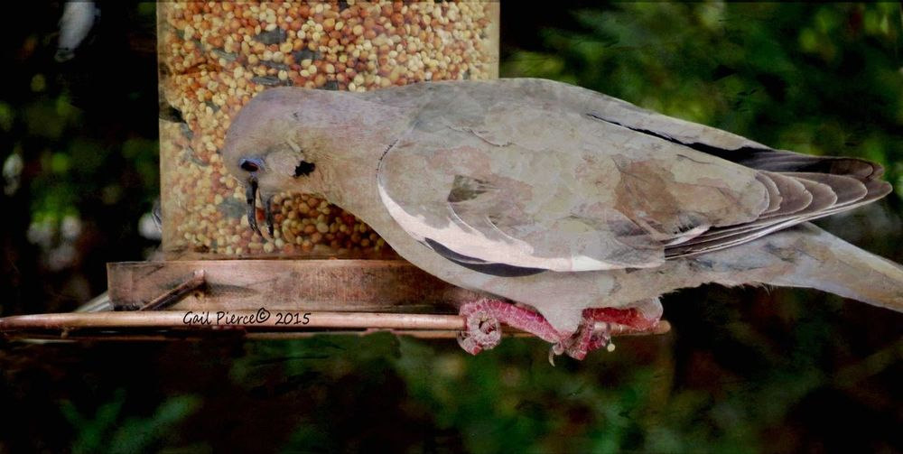 Dove. Digital Expression, Distressed, Rustic, Birds,